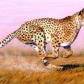 Самое быстрое млекопитающее на Земле
