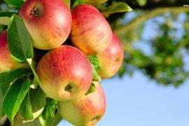 Уход за яблонями в осенний период
