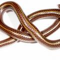 Самые маленькие змеи в мире – фото и описание